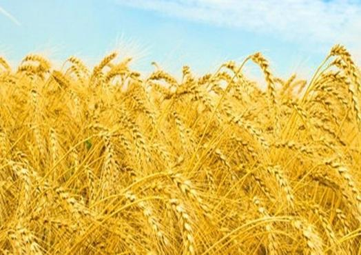 روسیه؛ بزرگترین صادرکننده گندم دنیا، نیمی از بازار در اختیار مسکو است