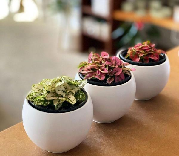 روش نگهداری از گیاه کوچک آپارتمانی گل سنگ یا هیپوستس فیلوستاچیا